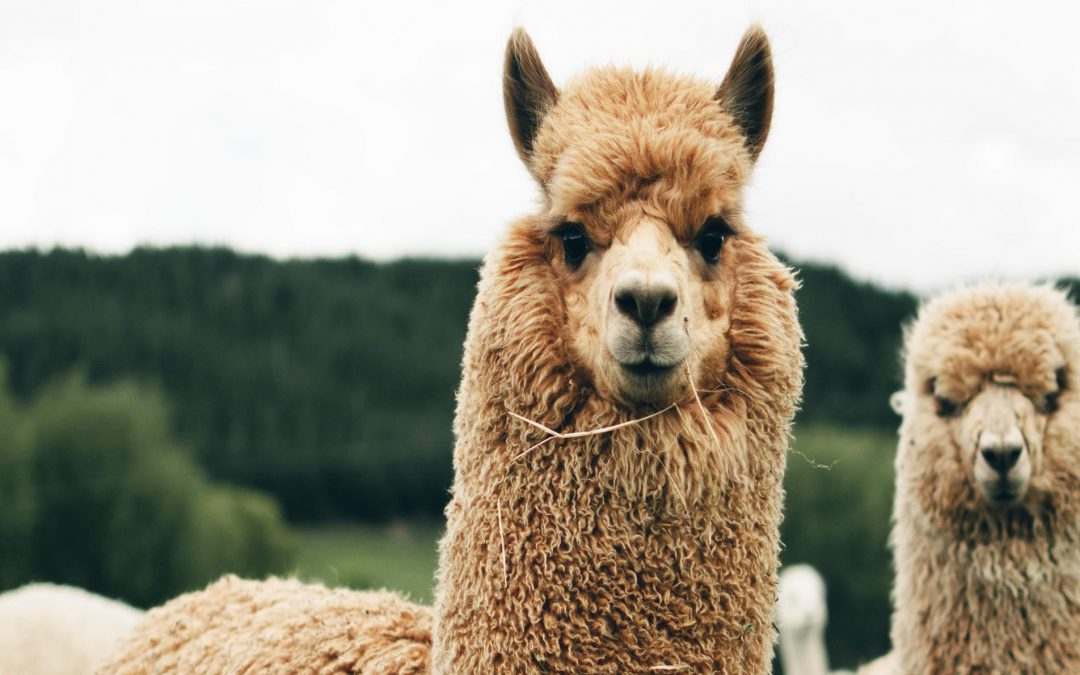 Course 10: Top Ten Requests from Llama and Alpaca Owners