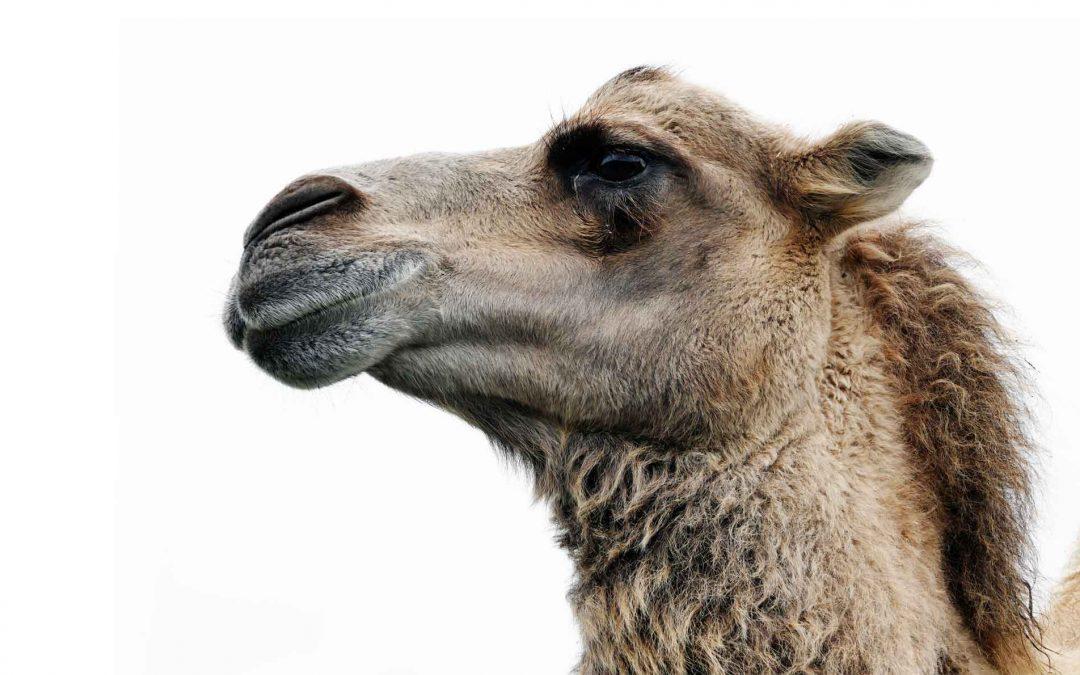 Course 14: Camel Medicine Starter Pack